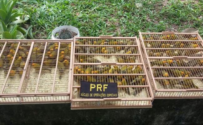 PRF apreende cerca de 180 canários em Macaíba